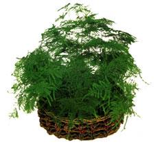 Plantas de interior la esparraguera floristerias for Plantas de interior madrid