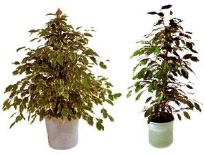 Plantas de interior el ficus benjamina en viveros for Vivero plantas tropicales